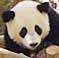 panda_.jpg